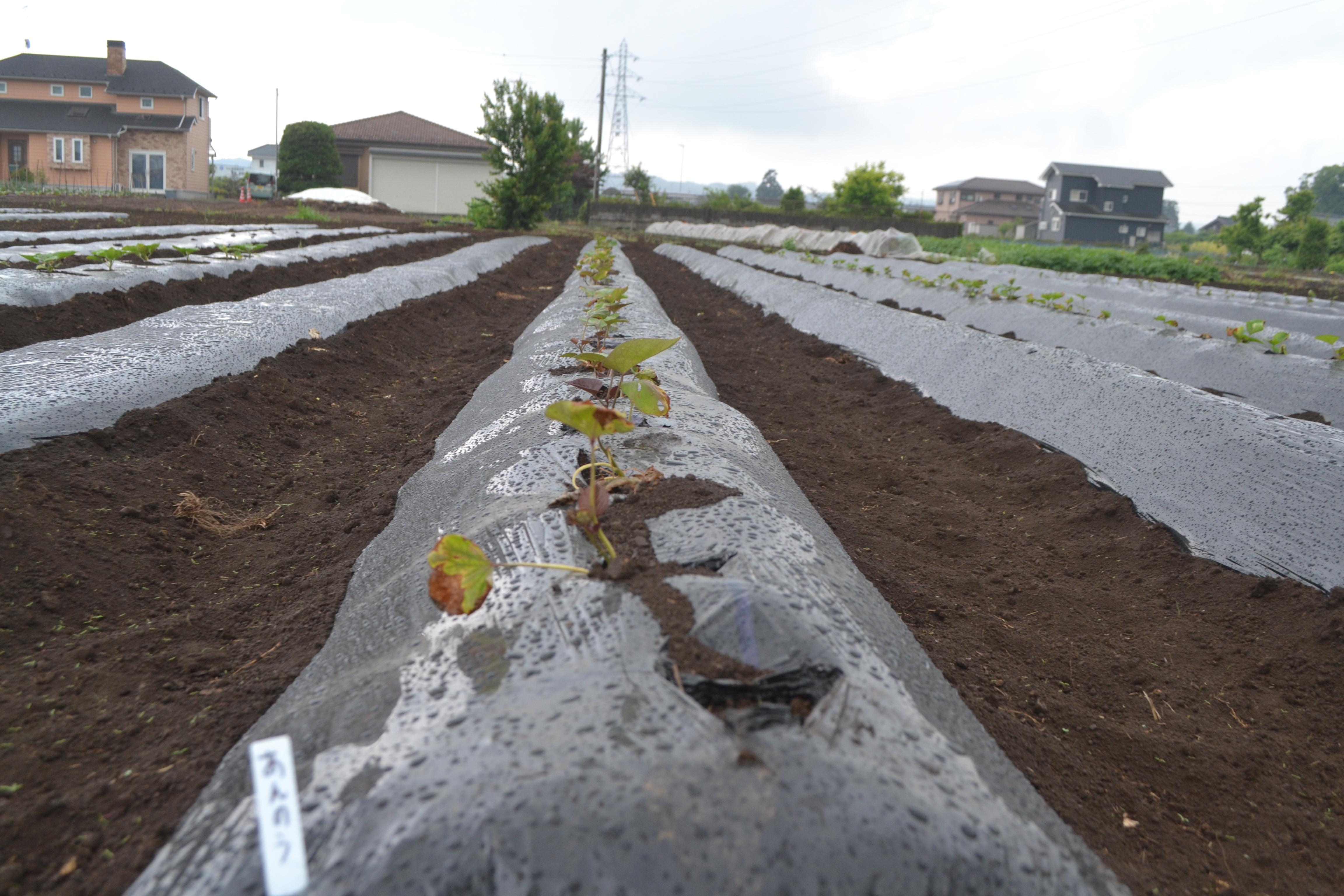 さつまいもの苗を植え付け後、枯れないようにする方法